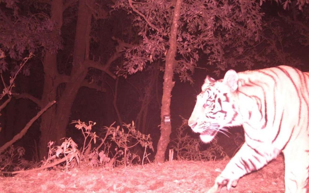 Le tigre s'empare des hauts pics népalais
